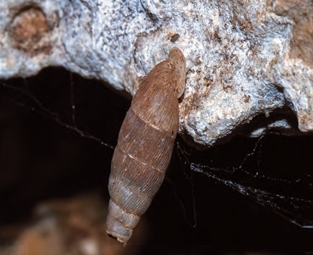 chiocciola endemica